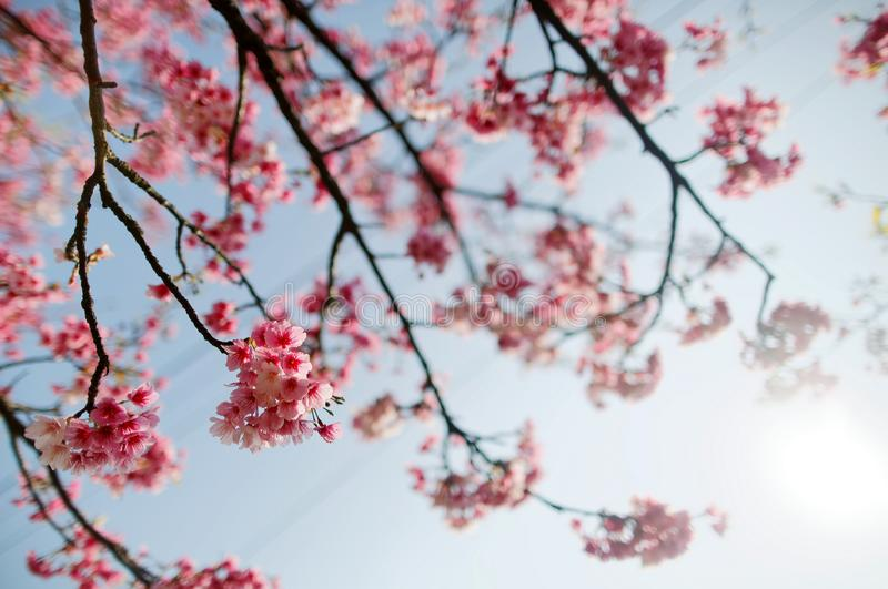 Close up view of blossoming branches of a cherry tree with lovely Sakura flowers blooming under bright sunshine against blue sunny. Sky on a beautiful spring royalty free stock photography