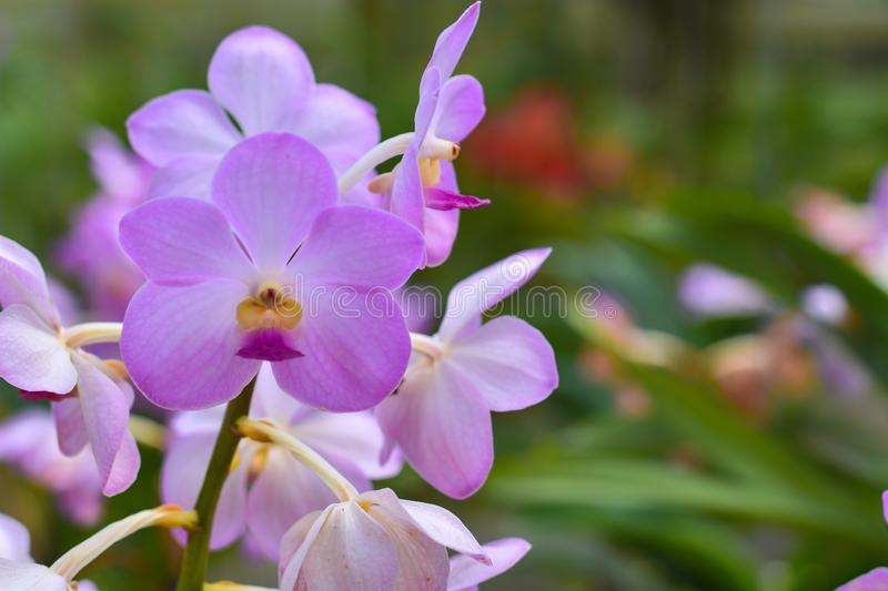 Close-up view, Bright colorful of tropical orchids in Thailand. royalty free stock images