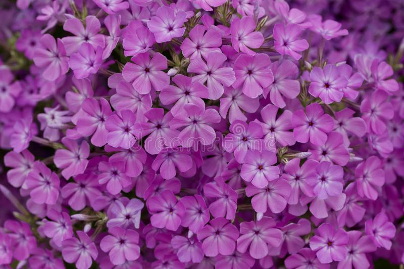 Close up view of bright purple garden phlox flowers in full bloom. Close up abstract view of beautiful bright pink and purple garden phlox flowers in full bloom royalty free stock image
