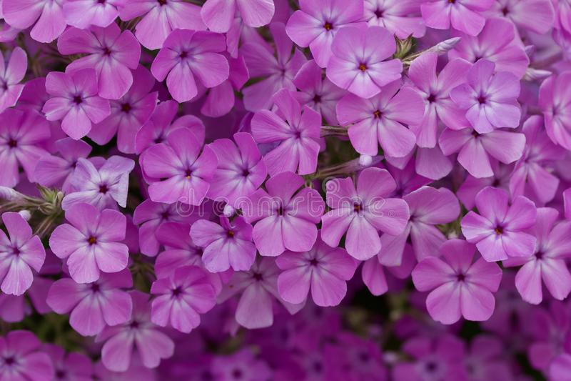 Close up view of bright purple garden phlox flowers in full bloom. Close up abstract view of beautiful bright pink and purple garden phlox flowers in full bloom royalty free stock photo