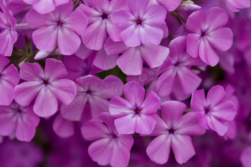 Close up view of bright purple garden phlox flowers in full bloom. Close up abstract view of beautiful bright pink and purple garden phlox flowers in full bloom stock images