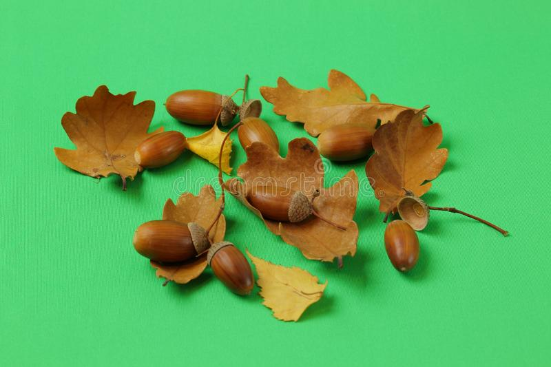 Close up view of brown oak leaves and nuts isolated on green background. Colorful nature backgrounds / textures royalty free stock image