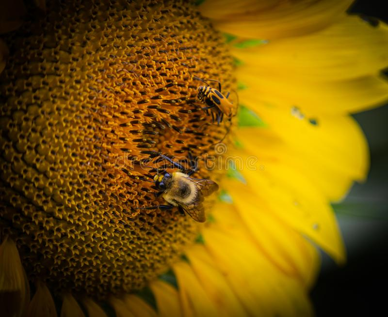 Close up view of many  bumblebee and soldier beetle on  the disc florets  of sunflower royalty free stock photos