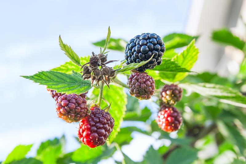 Close up view of a bunch of blackberry. Ripening of the blackberries on the blackberry bush in forest.. stock image
