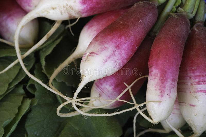 Close up view of a bunch of French breakfast radishes royalty free stock photos