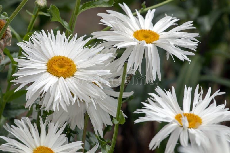 Shasta white daisy royalty free stock photography