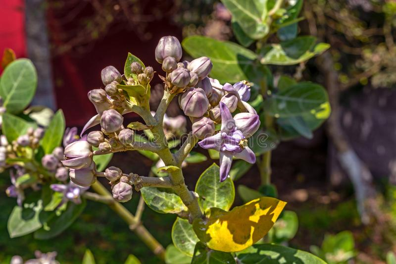 Close up view of Calotropis gigantea flower also known as Giant Indian Milkweed flower stock photos