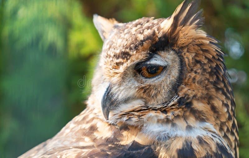Cape Eagle Owl. Close-up view of Cape Eagle Owl stock image