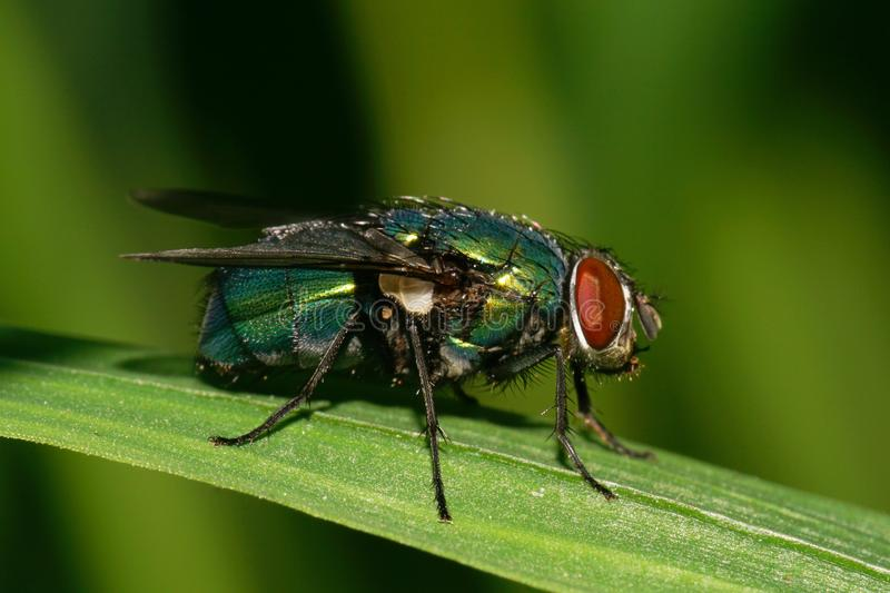 Close-up view of a caucasian green wild fly with red eyes on a n stock photography