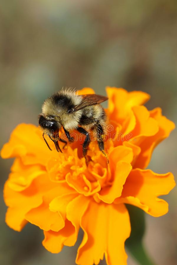 Close-up view of a Caucasian striped gray-black bumblebee Bombus serrisquama on an orange flower of a marigold Tagetes erecta in royalty free stock photography