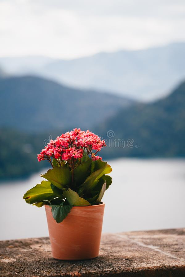 Close up view of a clay flowerpot with small pink kalanchoe flowers standing on a stone wall with the lake Bled at the. Background. Slovenia, aerial view stock photo
