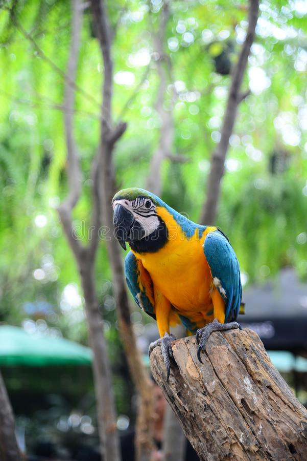 Close up view of Colorful Amazon Macaw Bird royalty free stock photo