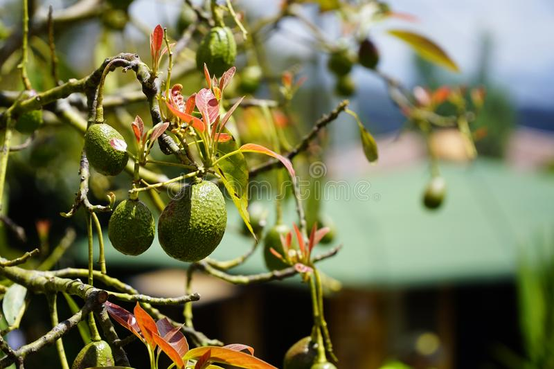Close up view of colorful hass avocados hanging on a tree planting isolated with a blurry background. Close up view of colorful green hass avocados hanging on a royalty free stock photos