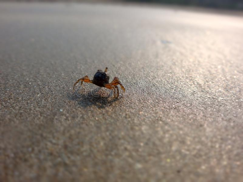 Crabs moving on sand beach. A close up view of crabs moving on the sand beach royalty free stock image
