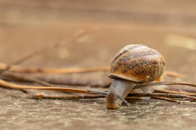 Close up view of a cute garden snail, slowly coming out of its shell. Lovely, brown, fibonacci, spiral, helix pattern. stock photo