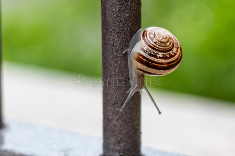 Close up view of a cute garden snail, slowly coming out of its shell. Lovely, brown, fibonacci, spiral, helix pattern. royalty free stock photo