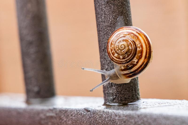 Close up view of a cute garden snail, slowly coming out of its shell. Lovely, brown, fibonacci, spiral, helix pattern. royalty free stock photography