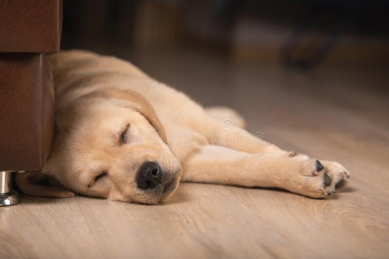 Close up view of cute golden labrador retriever dog sleeping on floor indoors. Time to sleep, sweet dreams, goodnight. Close up view of cute golden labrador stock image