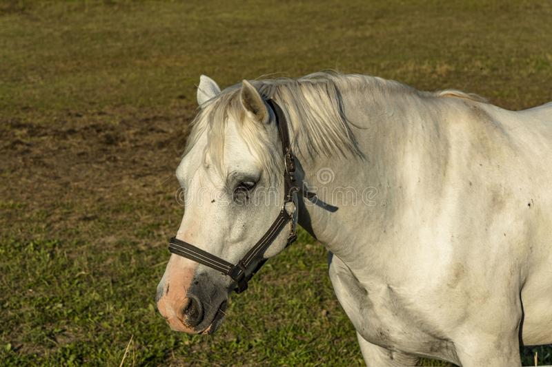 Close up view of cute white horse on green field background. Beautiful animals backgrounds stock illustration