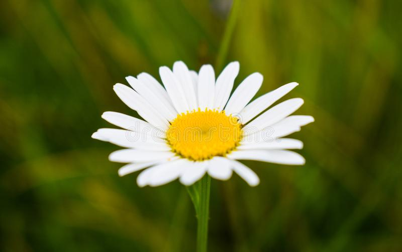 Close-up view of delicate daisy. Macro styled stock photo with white single daisy in the green field at summer stock photography