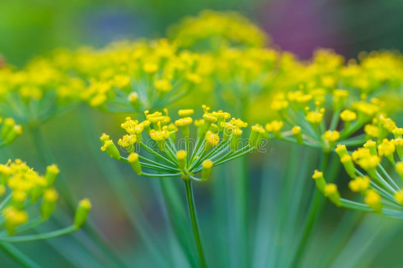 Close up view on a dill umbrella blooming on high stem royalty free stock photography
