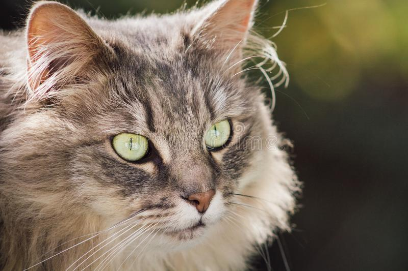 Close up view of a domestic grey long haired fluffy pet cat. With copy space royalty free stock images