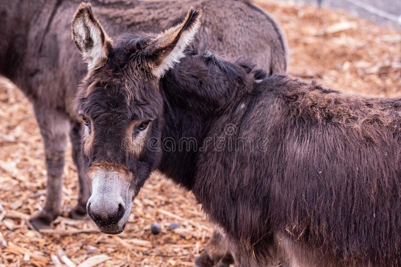 Portrait of donkey looking back with his head turned left stock photo