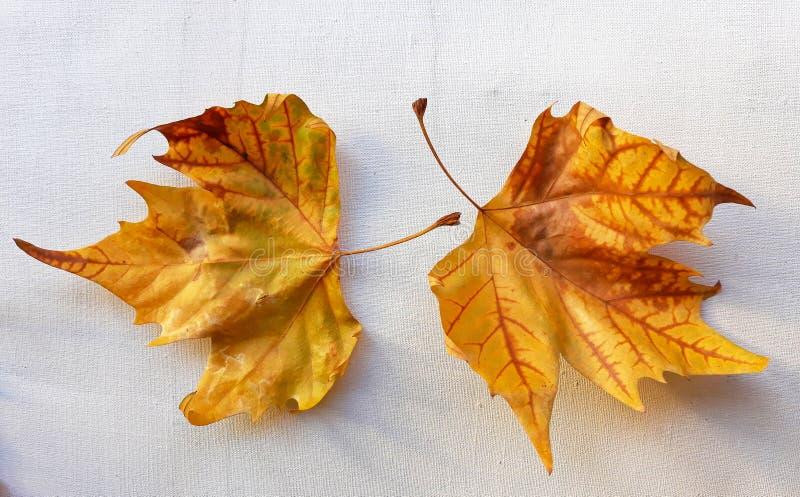 Plane trees & x28;Platan& x29; autumn leaves on white textile background stock image