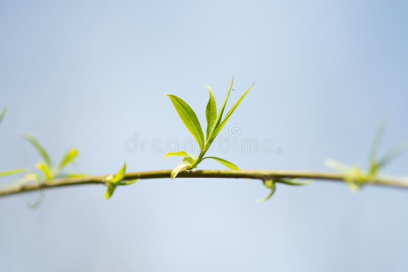 Close up view of the end of a weeping willow branch with newly sprouted leaves stock photo