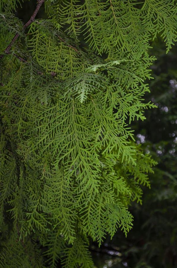 Close-up view of an evergreen cedar bush. Green thuja branches close up on a tree stock photos