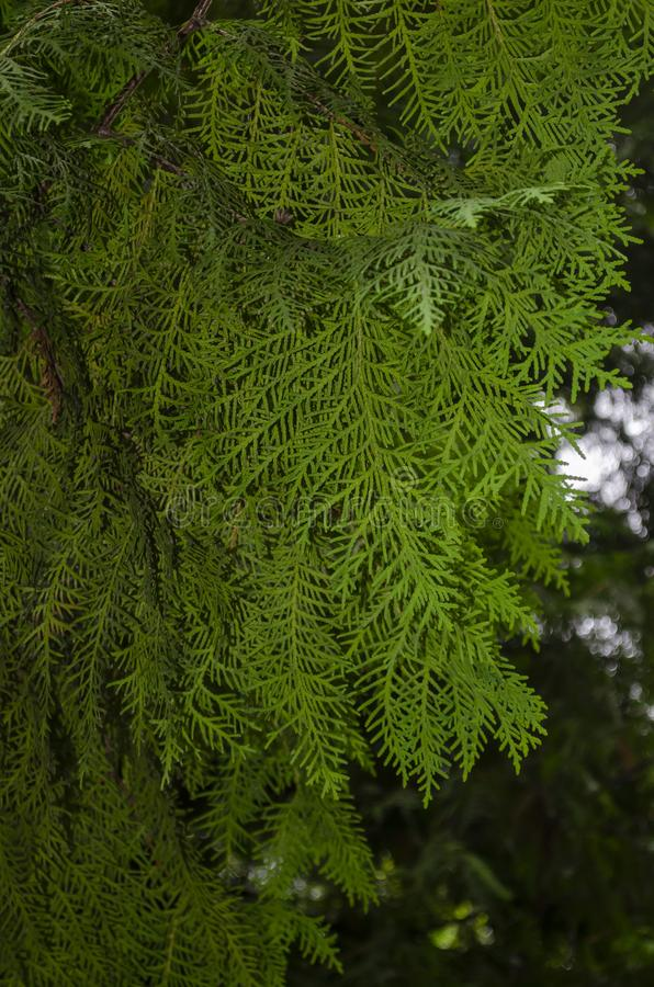 Close-up view of an evergreen cedar bush. Green thuja branches close up on a tree stock photo