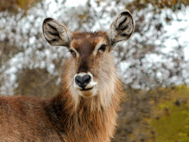 Waterbuck Wink. A close up view of a female Waterbuck in the African bushveld royalty free stock photo