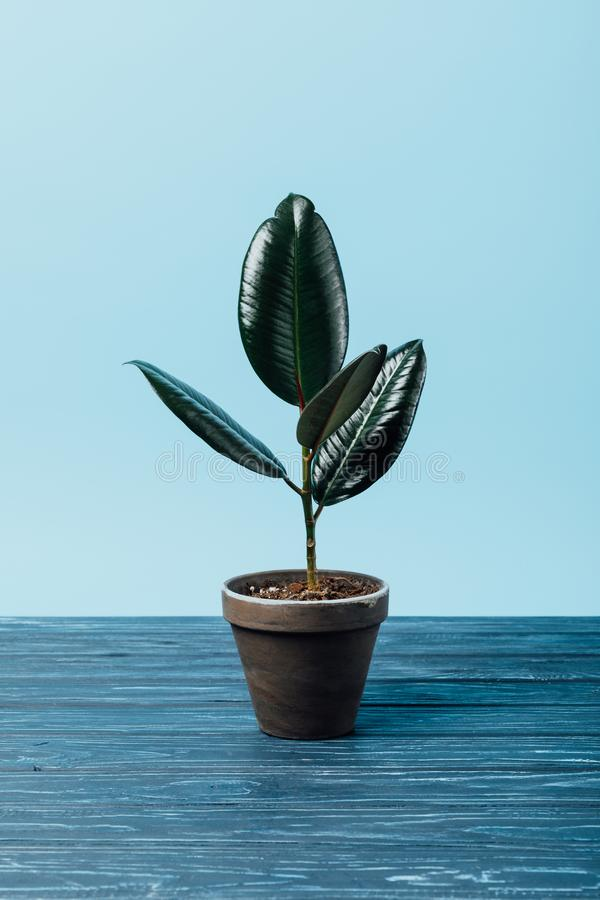 Close up view of ficus plant in flowerpot on wooden surface. On blue stock photos