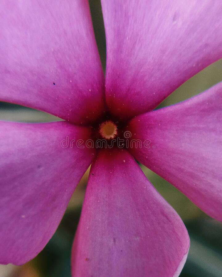 Close up view of a five petaled pink flower stock photos