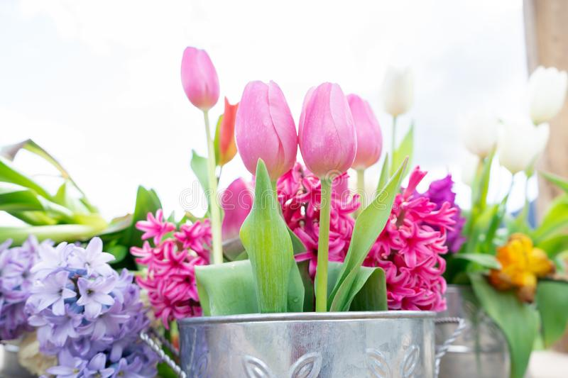 Close up view of a flower arrangement of tulips and other flowers in a vintage tin can, with very bright daylight and a white stock photo