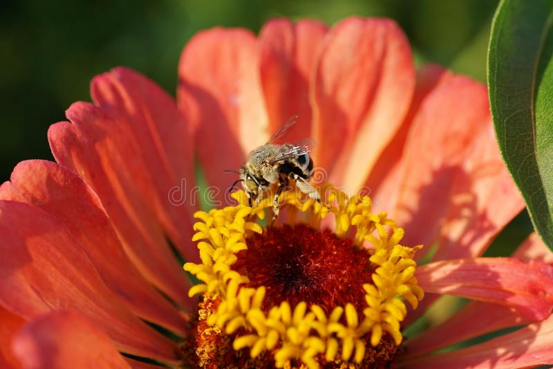 Close-up view of fluffy Caucasian striped white-gray bee Amegilla albigena on an orange-pink Zinnia flower in summer royalty free stock photo