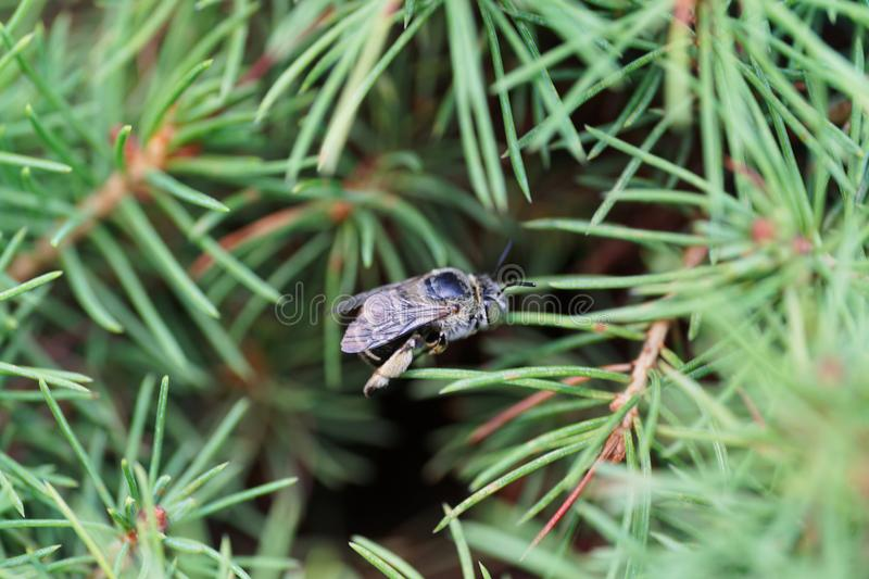 Close-up view of fluffy gray-white Caucasian bee Amegilla albigena in branches of bush spruce Picea abies royalty free stock images