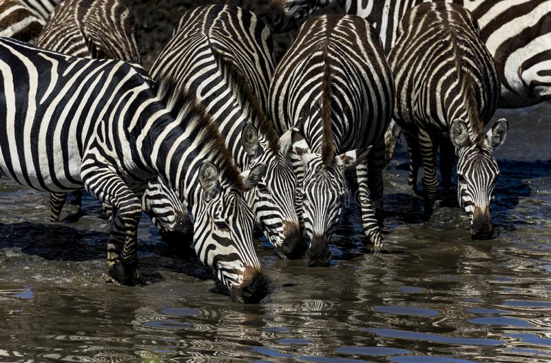 Close up of 4 zebras drinking water in a water hole. Close up view of four zebras drinking water from a watering hole during migration season in Africa stock photo