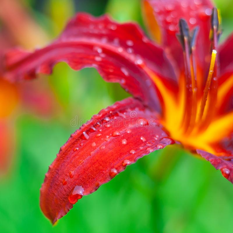 Close up view on a fragment of red daylily flower with raindrops stock image
