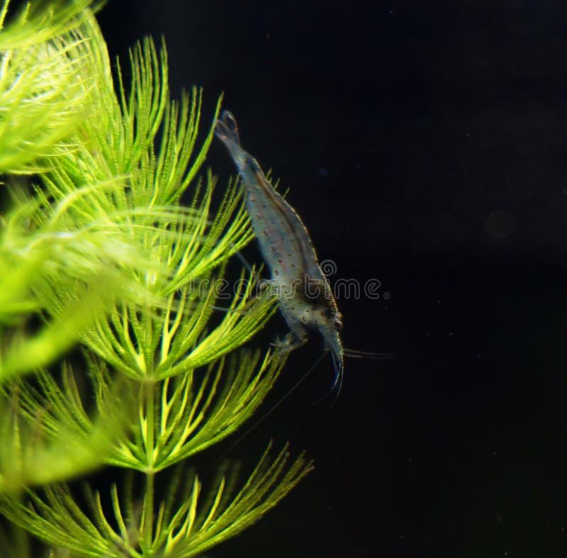 Amano shrimp.. Close-up view of Freshwater Amano shrimp. Caridina multidentata royalty free stock images