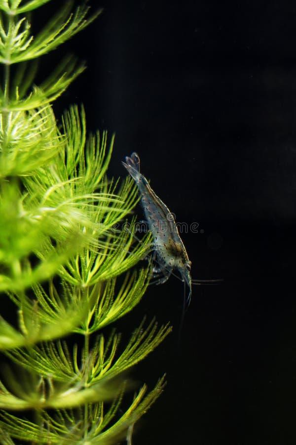 Amano shrimp. Close-up view of Freshwater Amano shrimp. Caridina multidentata stock photography