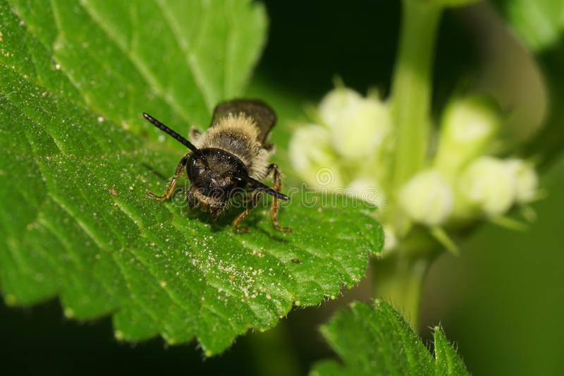 Close-up view from front of Caucasian small wild bee on green le royalty free stock photos