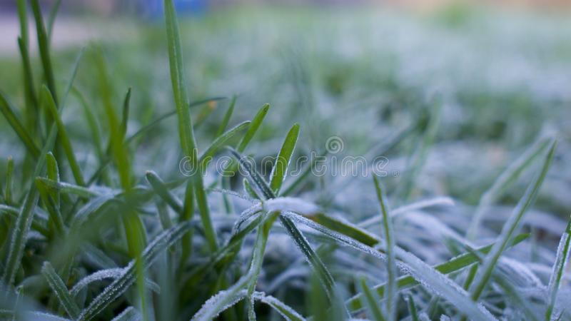 Frost covered grass. A close up view of frost / frozen water droplets on green grass in winter royalty free stock image