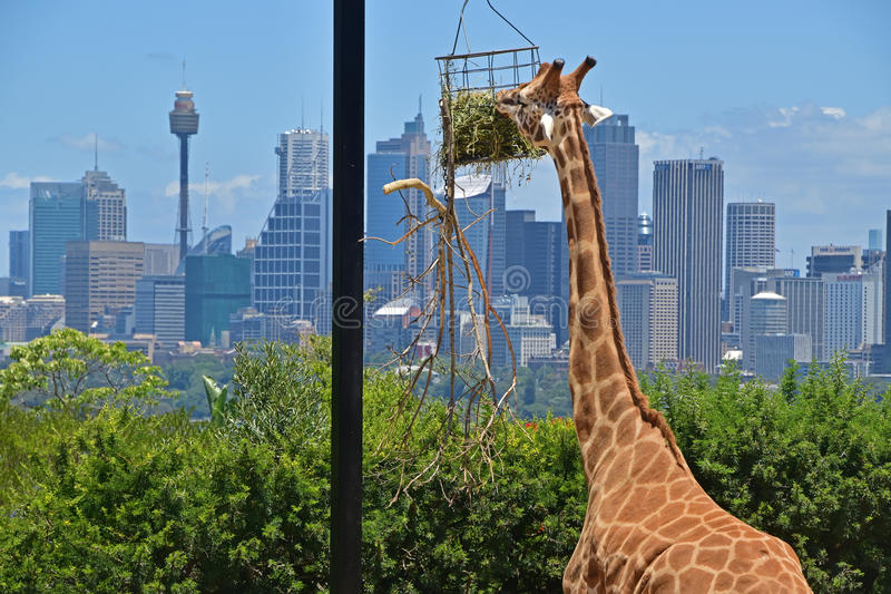 Close Up view of giraffe gazing food with Sydney skyline in the background royalty free stock photography