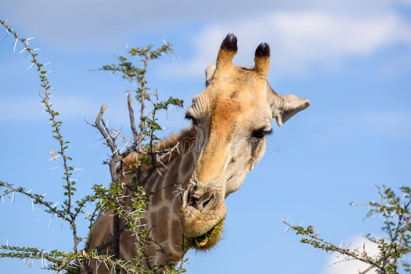 Close up view of a Giraffe`s head eating Acacia tree leaves stock image