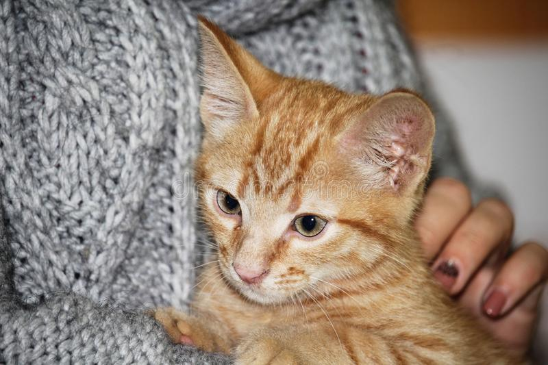 Close up view of the girl who holds on her arms a small cute tabby red kitten and strokes it.  stock images