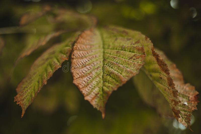 Close up view of green and brown leaves in autumn season. Nature royalty free stock images
