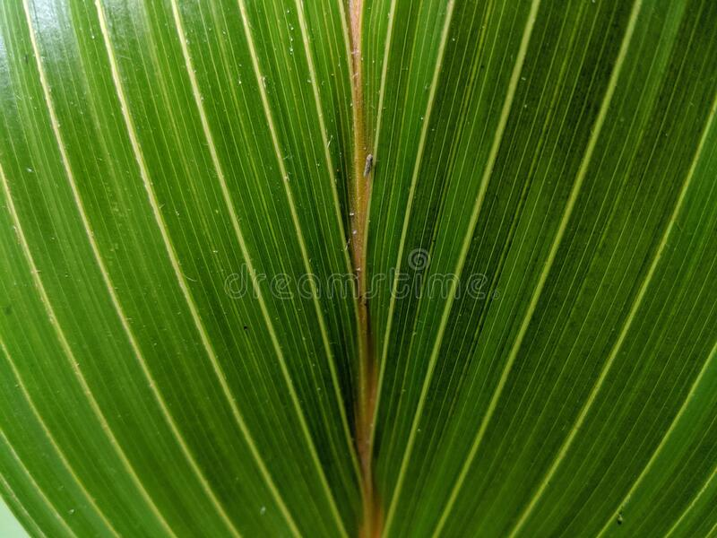 Close-up view of green palm leaf, tropical plant.  royalty free stock images