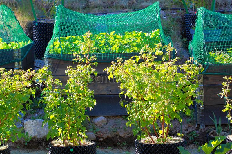 Close up view of green raspberry bushes in plastic pots. Strawberry growing in pallet collar covered. Close up view of green raspberry bushes in plastic pots stock image