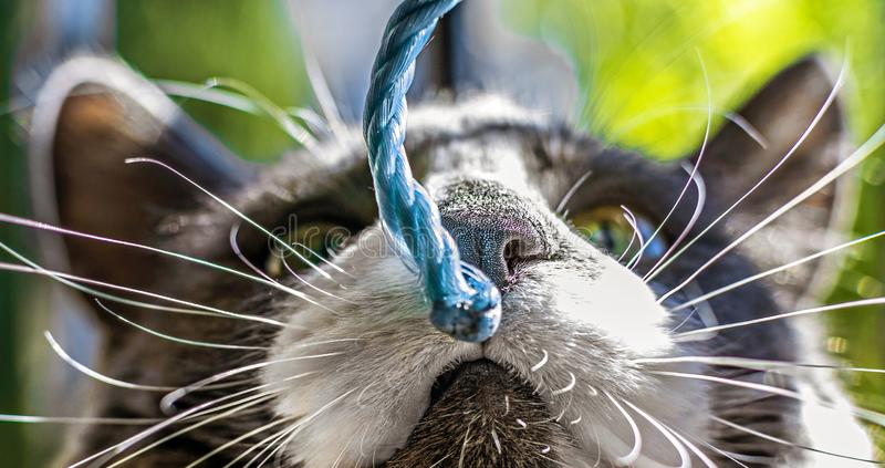 Close up view of the head of a black and white cat focused on nose. Trying to smell a string stock images